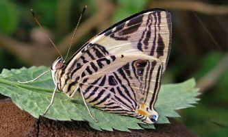 1386 | Papillon Star - Il n'y a pas que les stars qui posent pour la photo : ce papillon semble très conscient de ses atouts côté séduction !