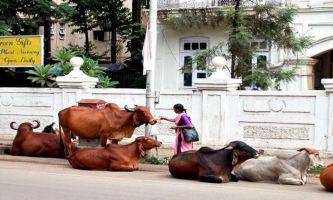 Bombay - vaches sacrées
