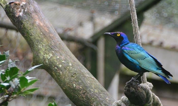 3635 | oiseau bleu -