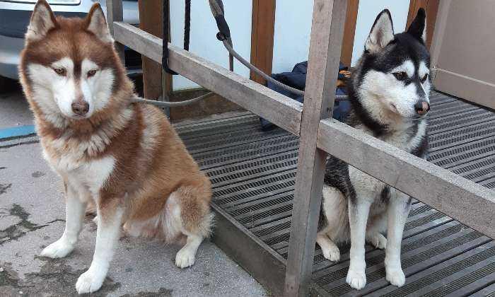 puzzle Beaux chiens, Les deux Huskys au repos !!